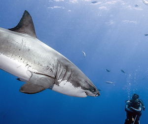 A Fearless Encounter With a Great White Shark