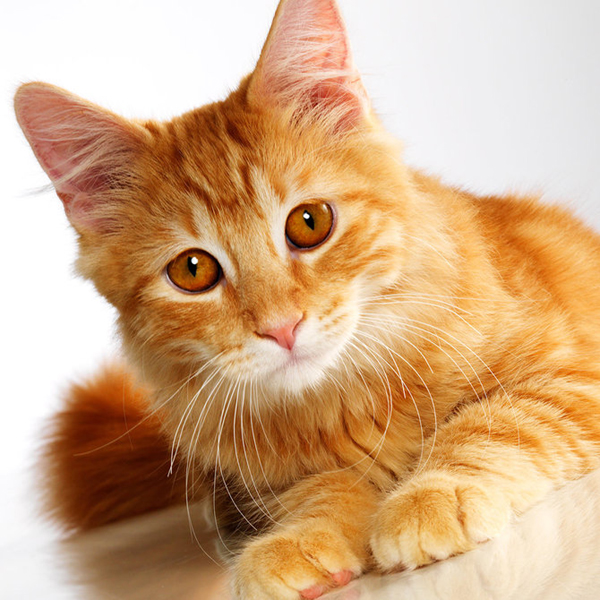 I Want To Breed My Female Cat