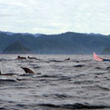 Dolphin Atrractions In Kiluan Bay