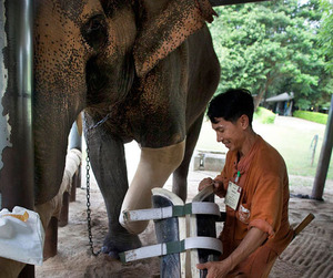 Elephant in Thailand Gets New Prosthetic Leg