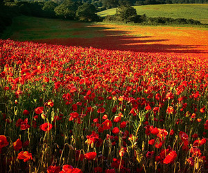 Remembrance Day, Poppy Fields by Alan Ranger