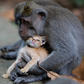 Monkey Adopts a Kitten in the Forests of Bali, Indonesia
