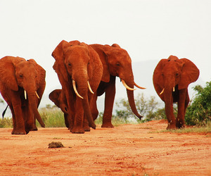 The Red Elephants of Kenya