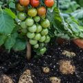 Tomatoes and Potatoes From Same Plant Called TomTato