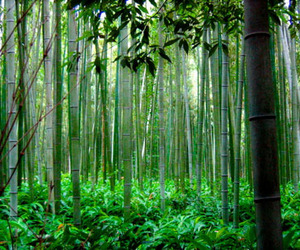 What Can Bamboo Do About CO2?